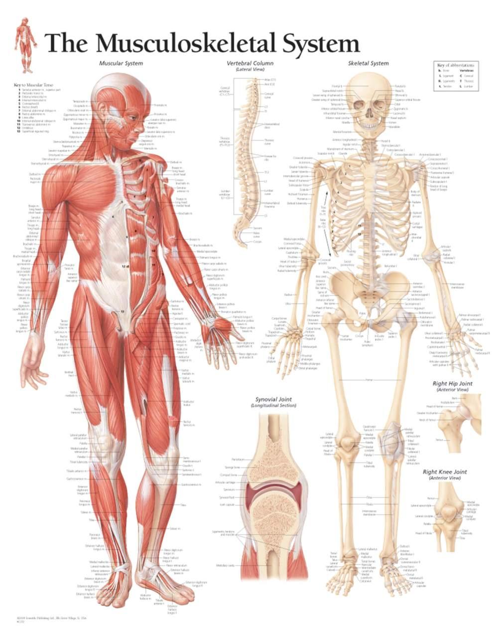 medium resolution of musculoskeletal system