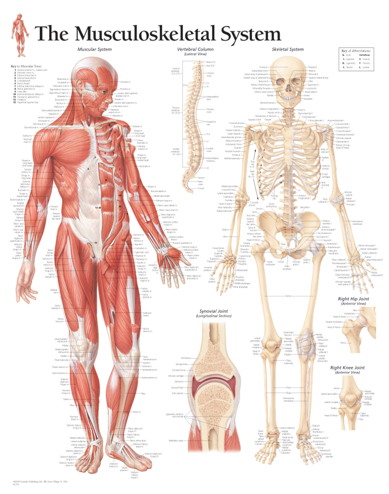 hight resolution of musculoskeletal system