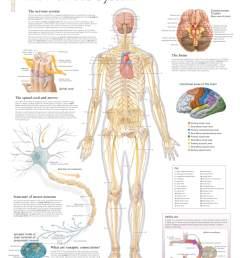 diagram of body nerves [ 1572 x 2000 Pixel ]