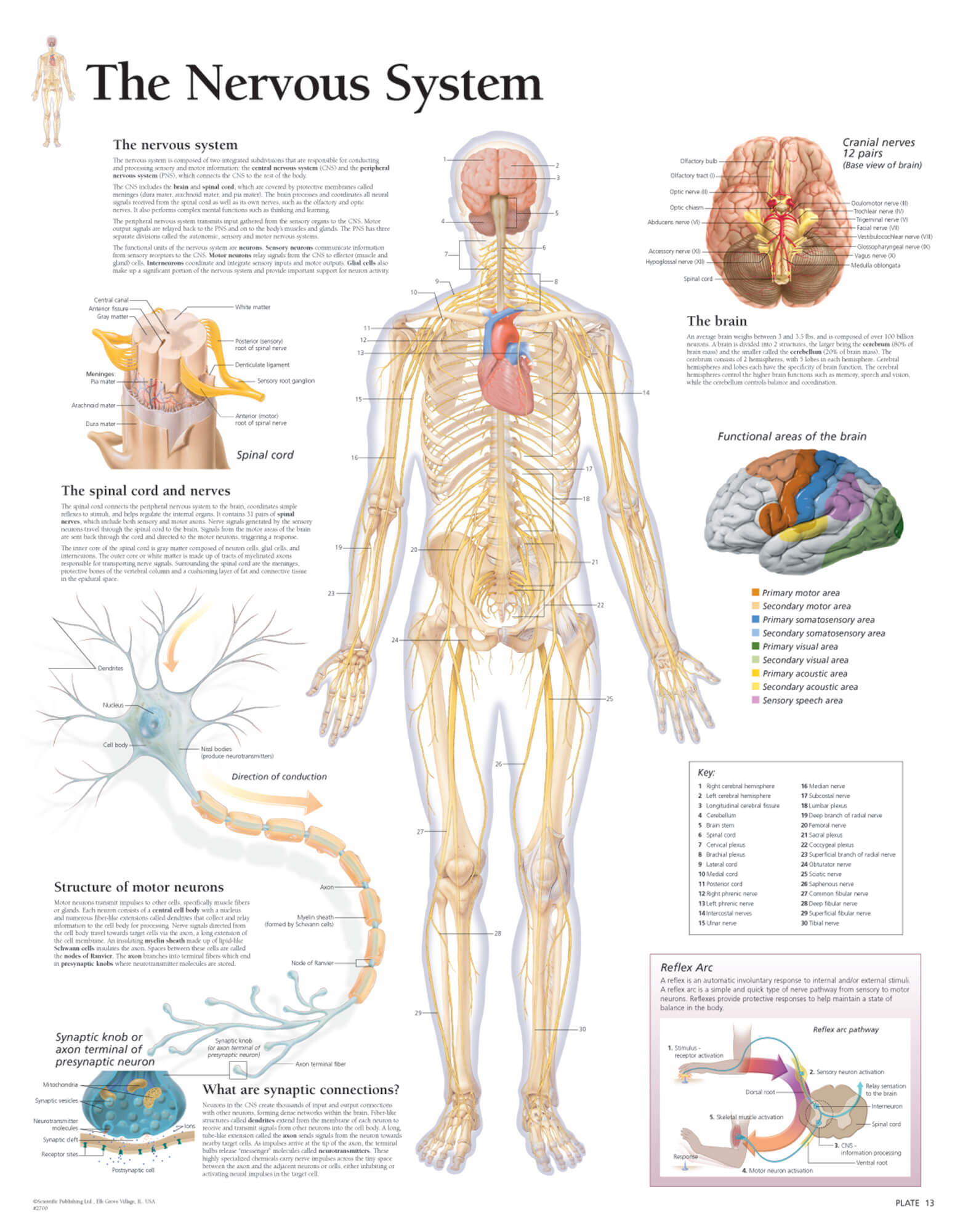 hight resolution of diagram of body nerves