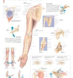 shoulder and elbow anatomy [ 1572 x 2000 Pixel ]