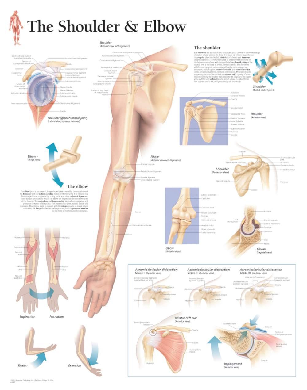 medium resolution of shoulder and elbow anatomy