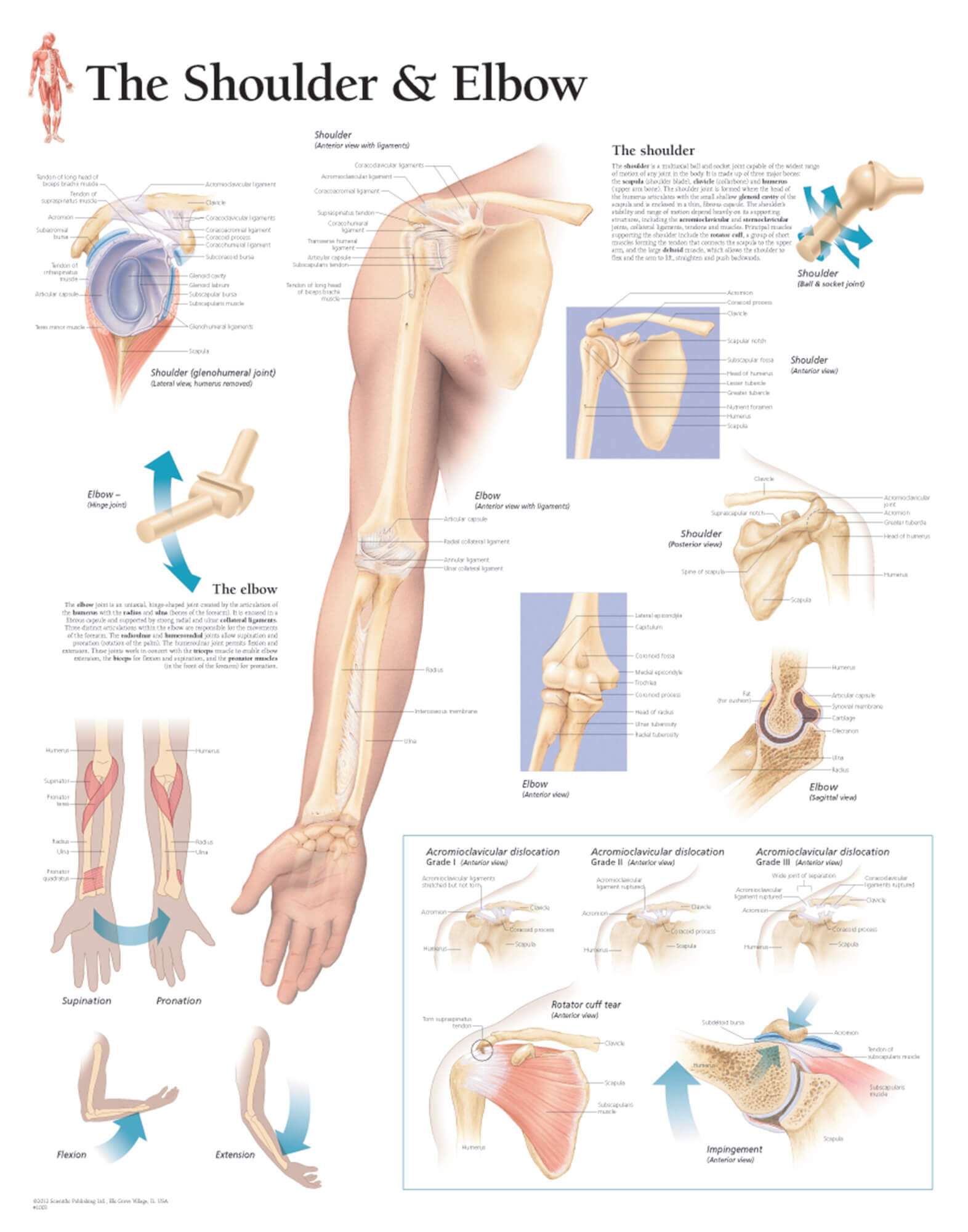 hight resolution of shoulder and elbow anatomy