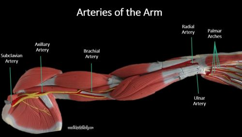 small resolution of the subclavian artery continues to travel laterally toward the shoulder then turns inferiorly at the axillary region area of the arm pit to become the