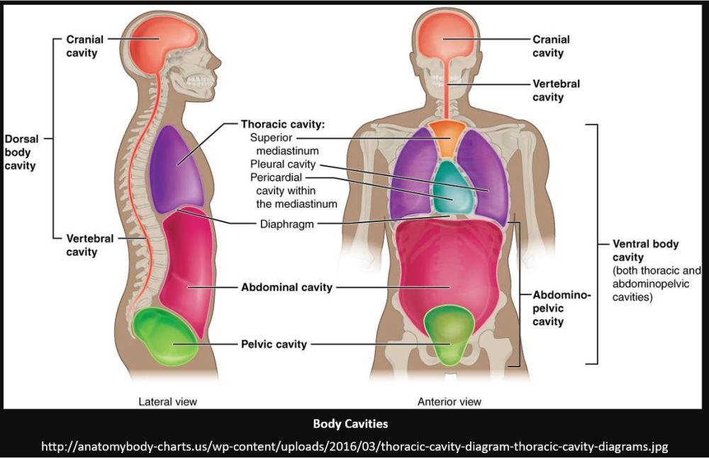 medium resolution of diagram of the body cavities wiring diagram forward blank diagram of body cavities body cavities and