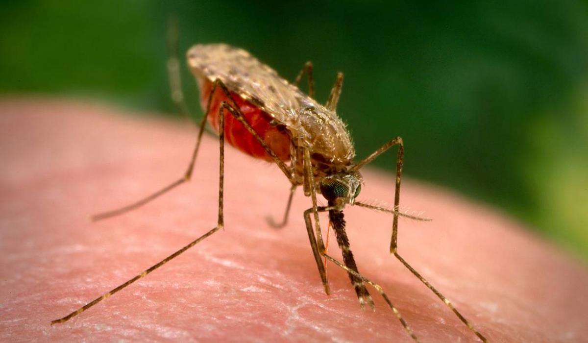 Resultado de imagen de anopheles gambiae mosquito