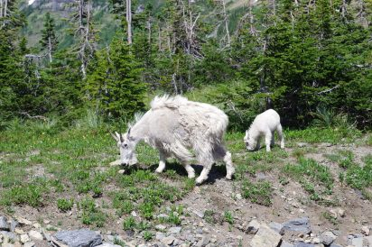 Rocky Mountain Goats in Glacier National Park