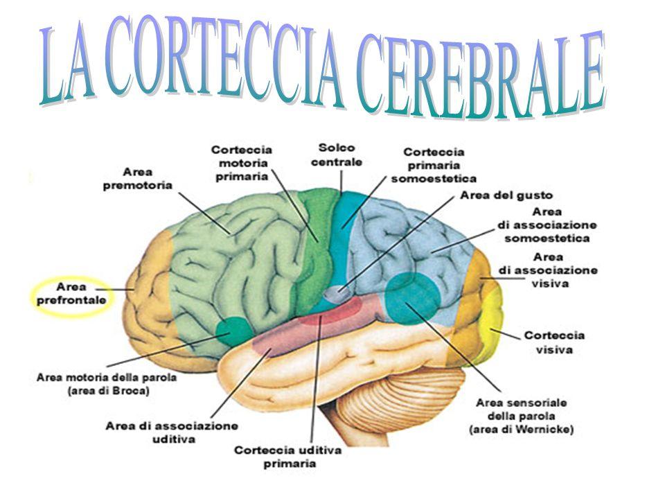 Dimostrato il legame tra personalità e anatomia della corteccia cerebrale