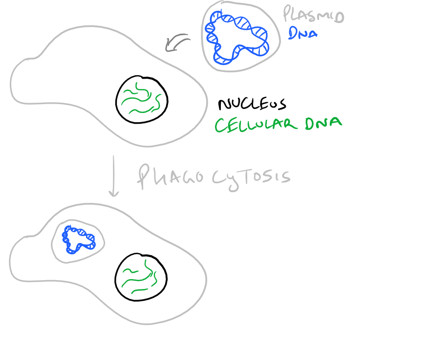 Calcium Phosphate Transient Transfection Protocol & Guide