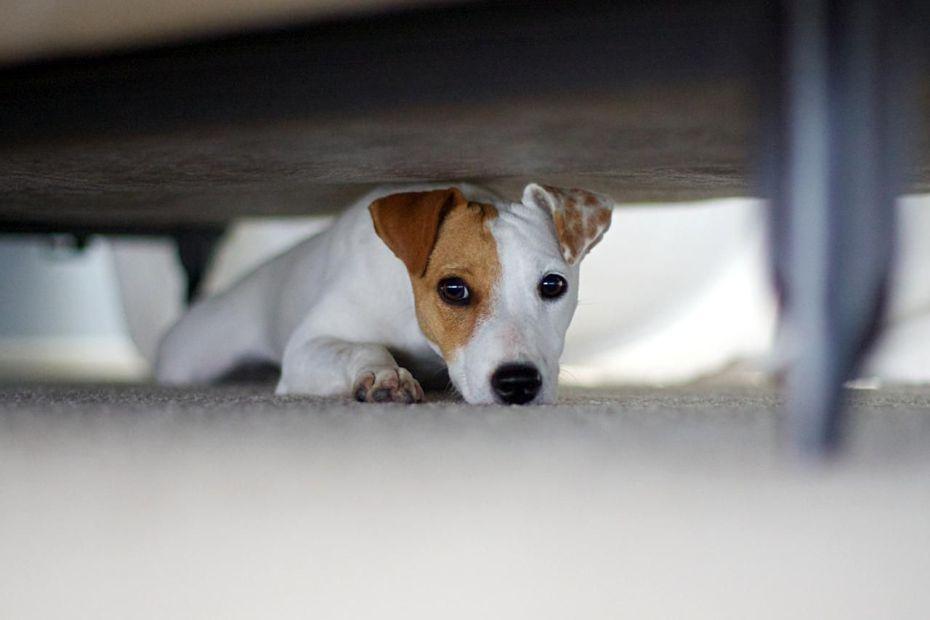chien cachés sous un meuble