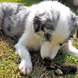 chien mange crotte coprophagie