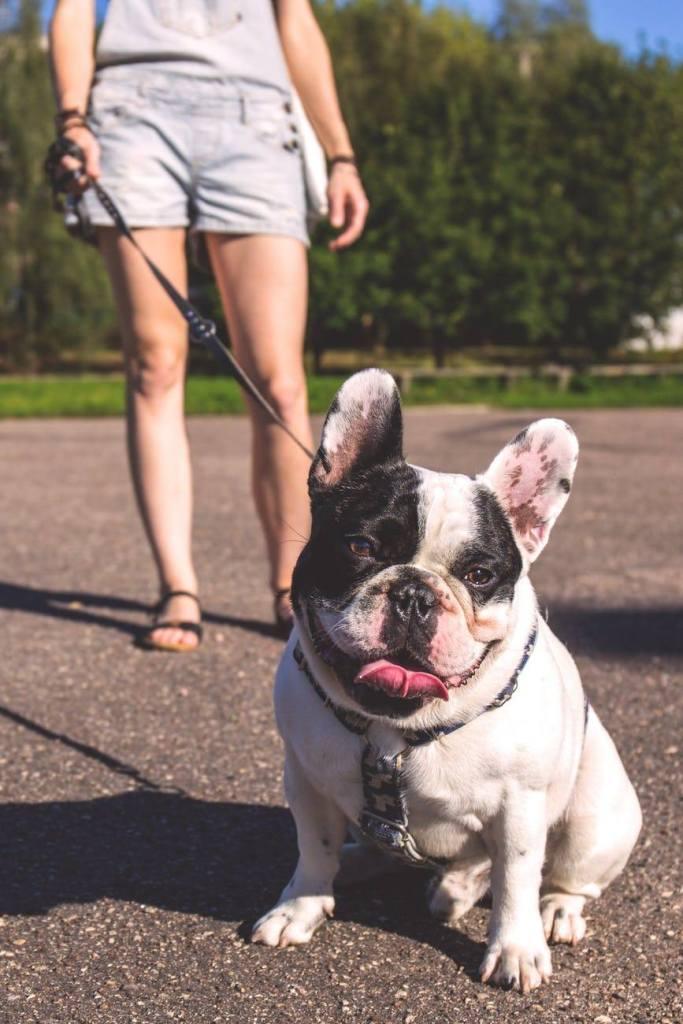 promenade d'un bulldog en laisse