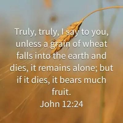 Grain of wheat - seeds 3