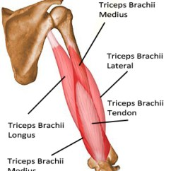 Triceps Brachii Diagram 2000 Harley Davidson Road King Wiring Of Schematic Scoliosis Workouts Shoulder Tendons This Workout Is Also More Flexible As It A Three Day Split But Each Will Be Intense And You Are