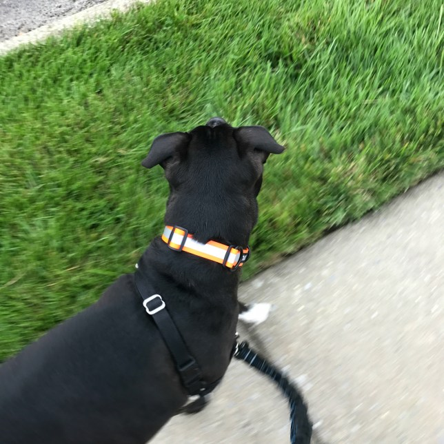 Go Dog Glo Dry Collar in action