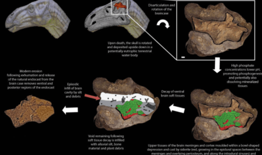 Have scientists found a fossilized dinosaur brain?