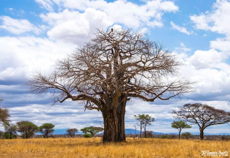 Avvoltoio su Baobab