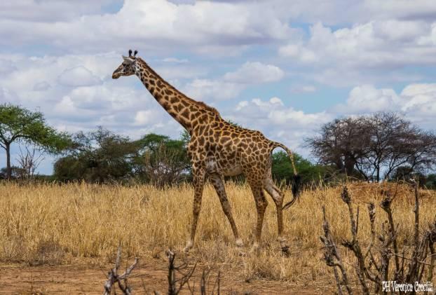 Cucciolo di Giraffa