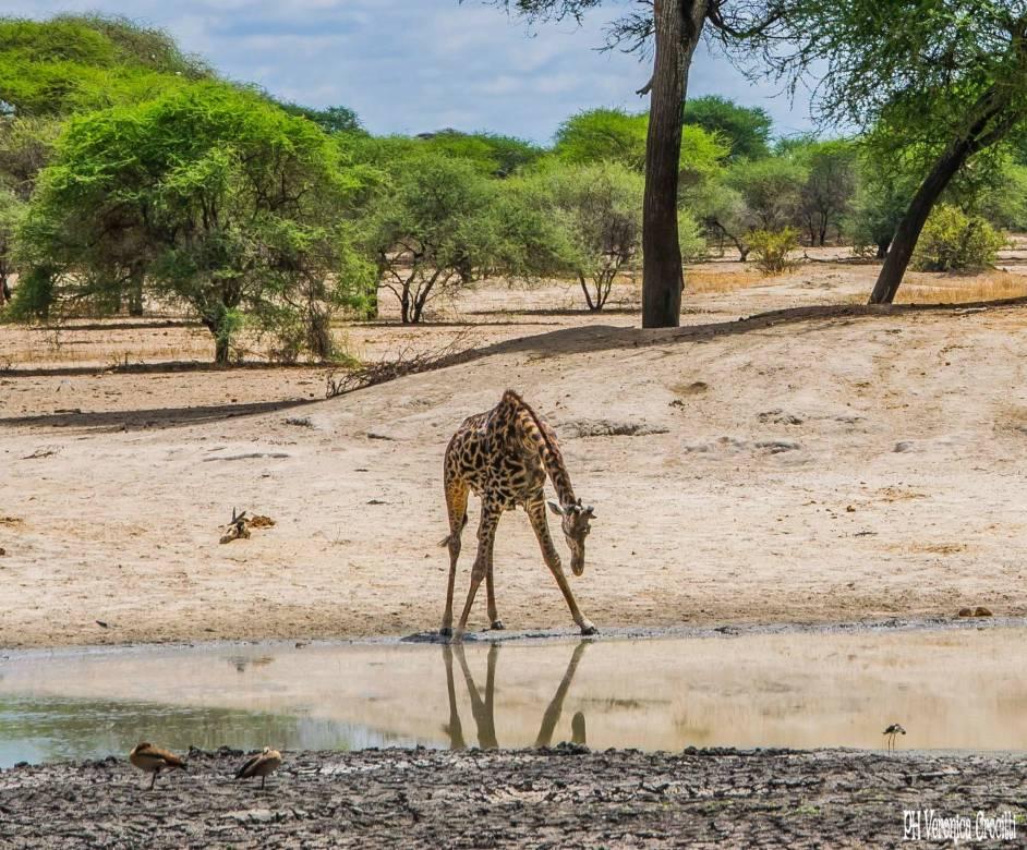 Giraffa che beve