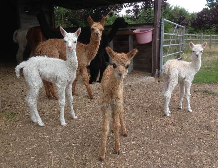 New Baby Alpaca Arrivals
