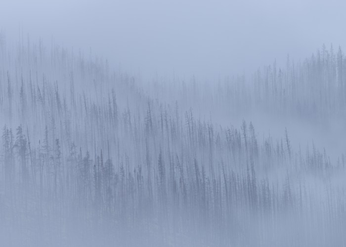 An abstract or intimate photograph of burnt mountain forest in Jasper National Park, Alberta in the fog