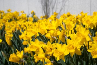 Daffodils in bloom at the local university.