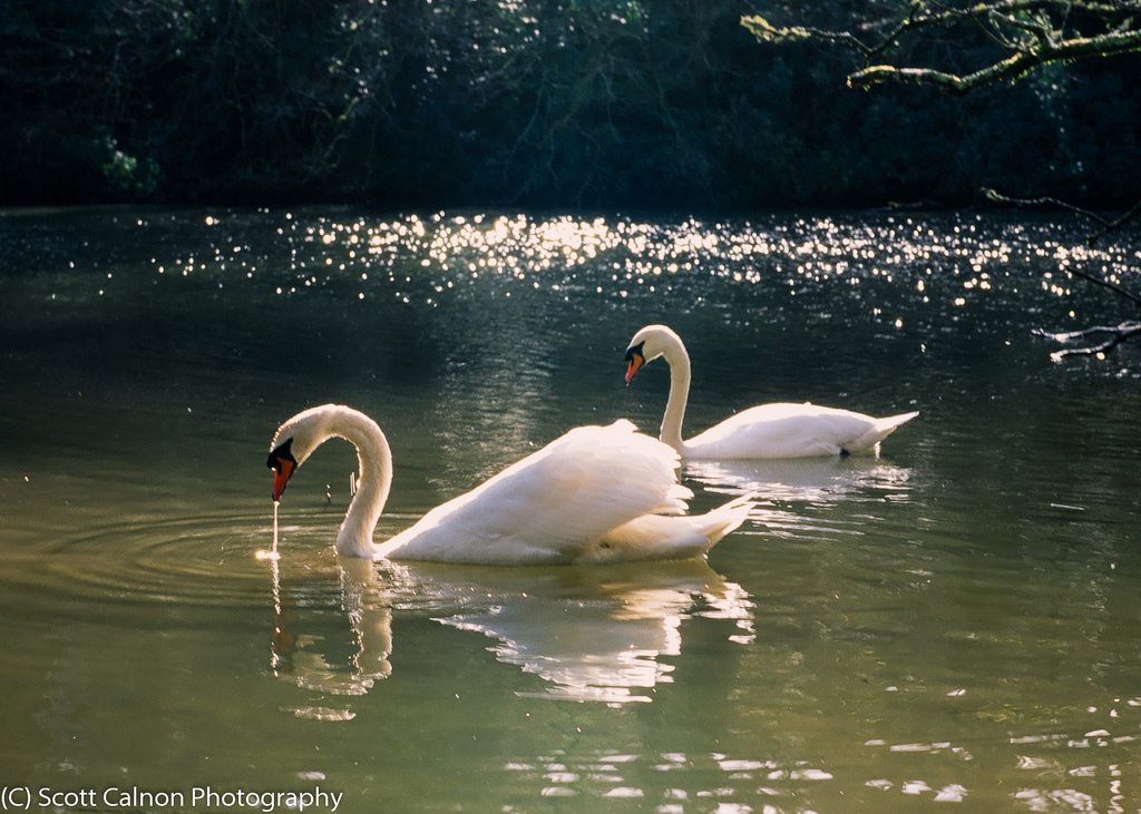 new-velvia-swans-landscape-lake-photography-1