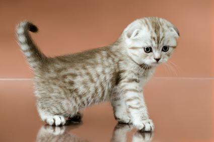 The Scottish Fold Kitten Irresistibly Cute