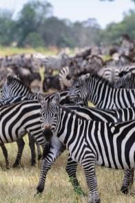 Herd of Zebra