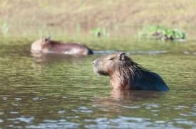 Capybara in the Rio Negro
