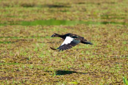 Muscovy Duck on the wing