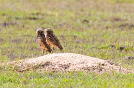 Pair of burrowing owls at their burrow.