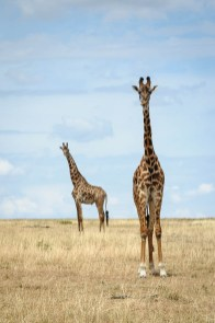 Pair of Maasai Giraffe