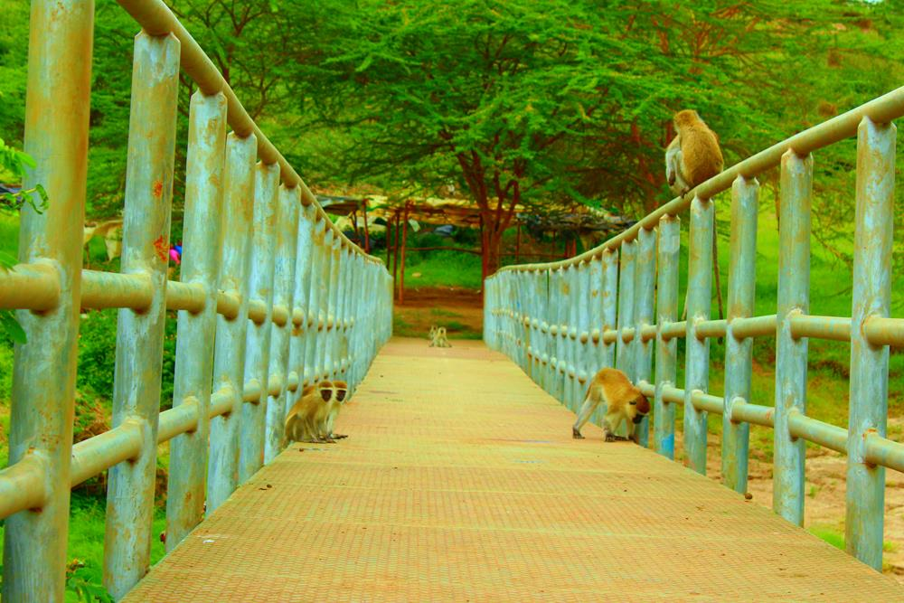 African_Monkey