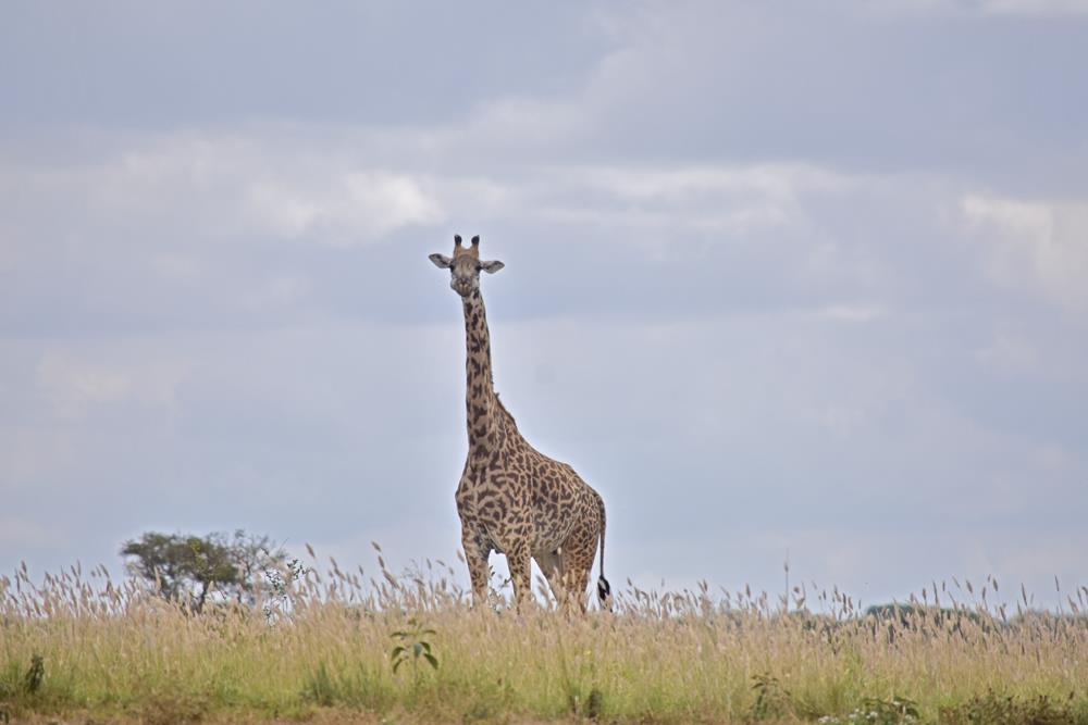 Kenyan_Giraffe