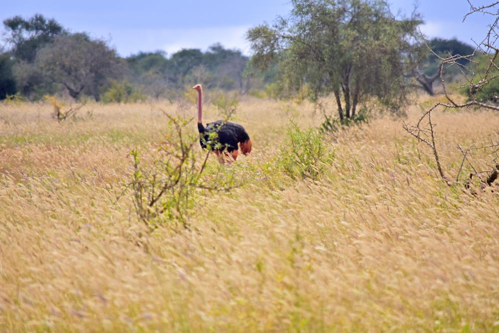 Kenyan_ostrich