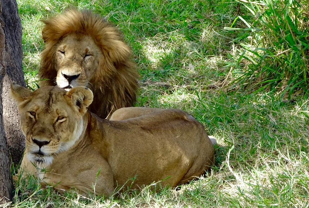 Lions_at_the_Mara