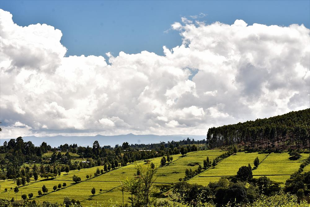 Kericho_Tea_Farm