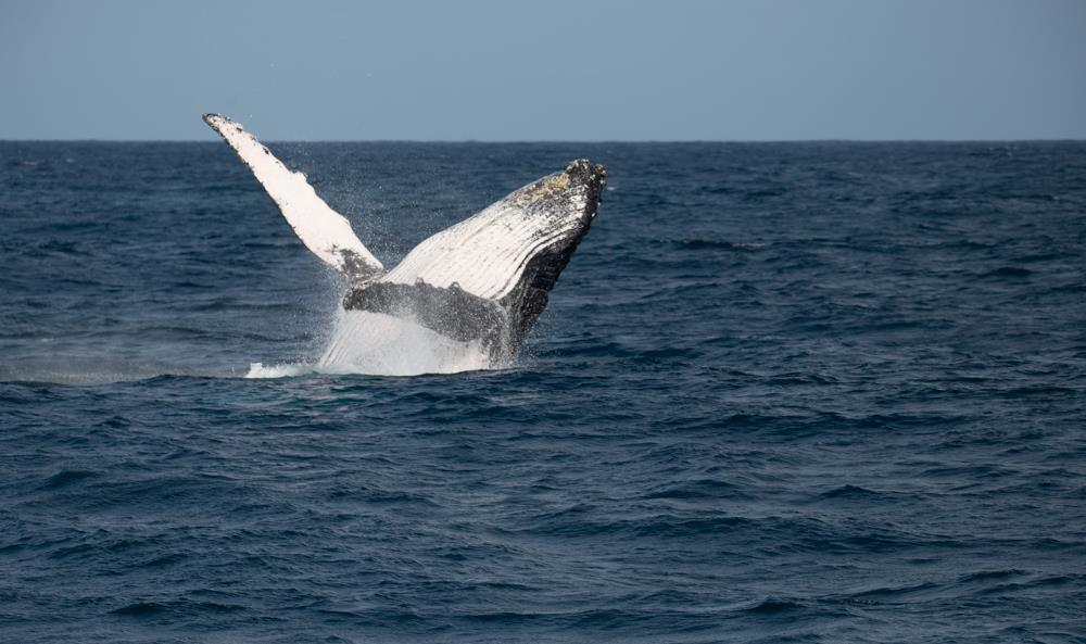 Humpback_Whales_Migration