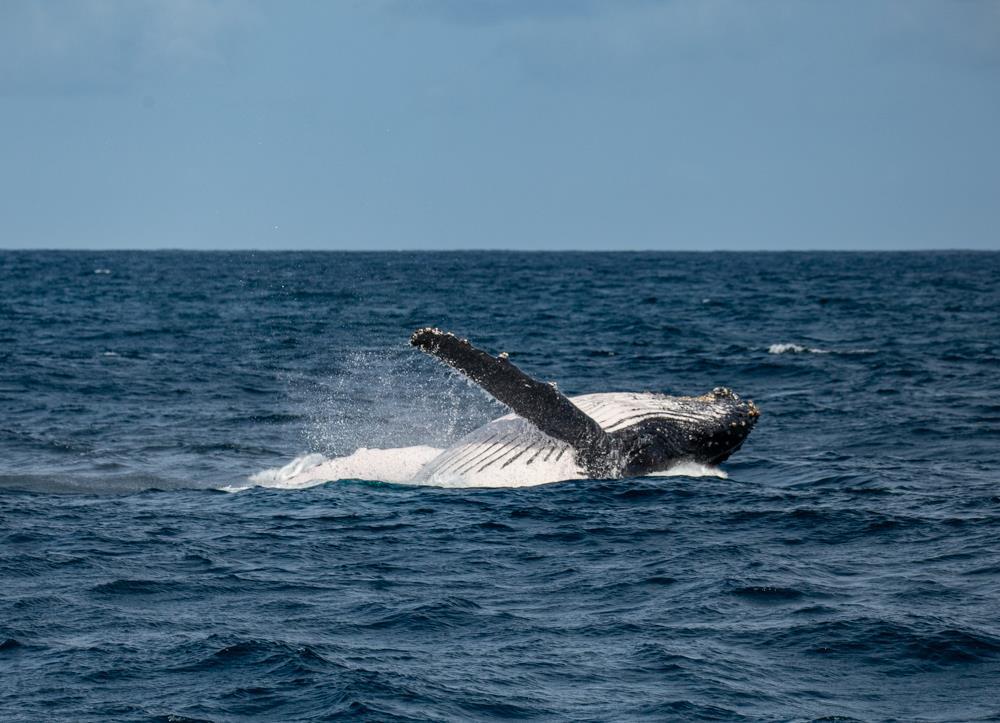 HHumpback Whales Migration