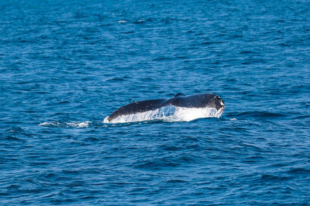 Humpback_Whale_Migration