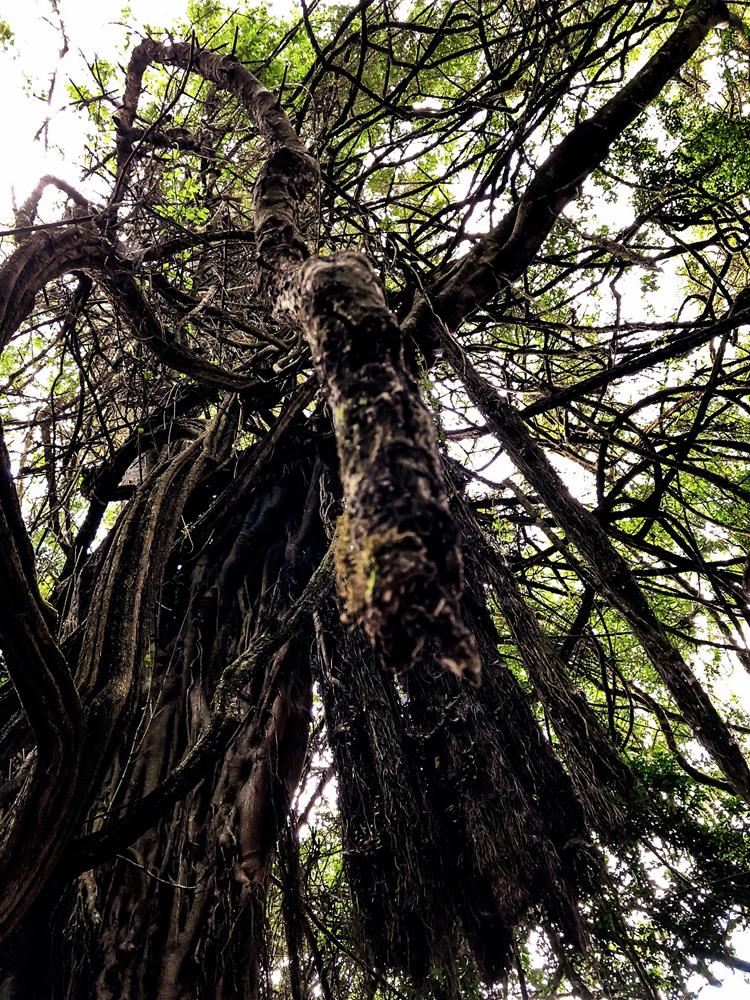 mugumo_tree