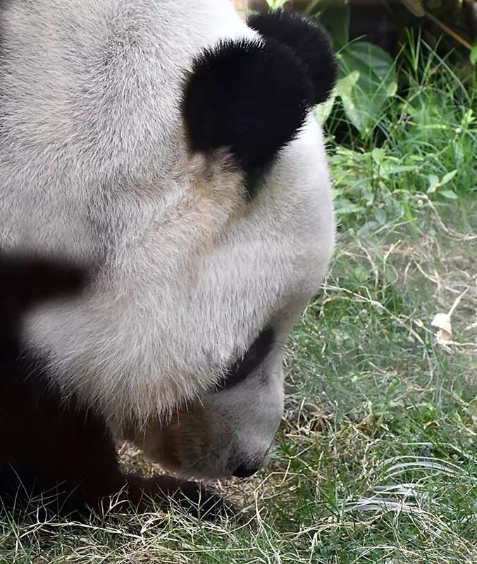 Ocean Park Giant Panda.