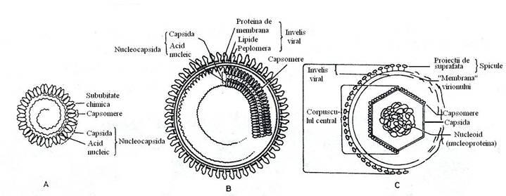 Modelul general de structura a virionului