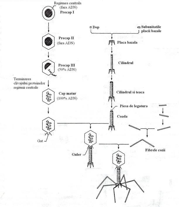 Relatiile fag-bacterie