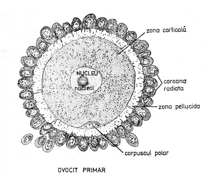 L Ovul