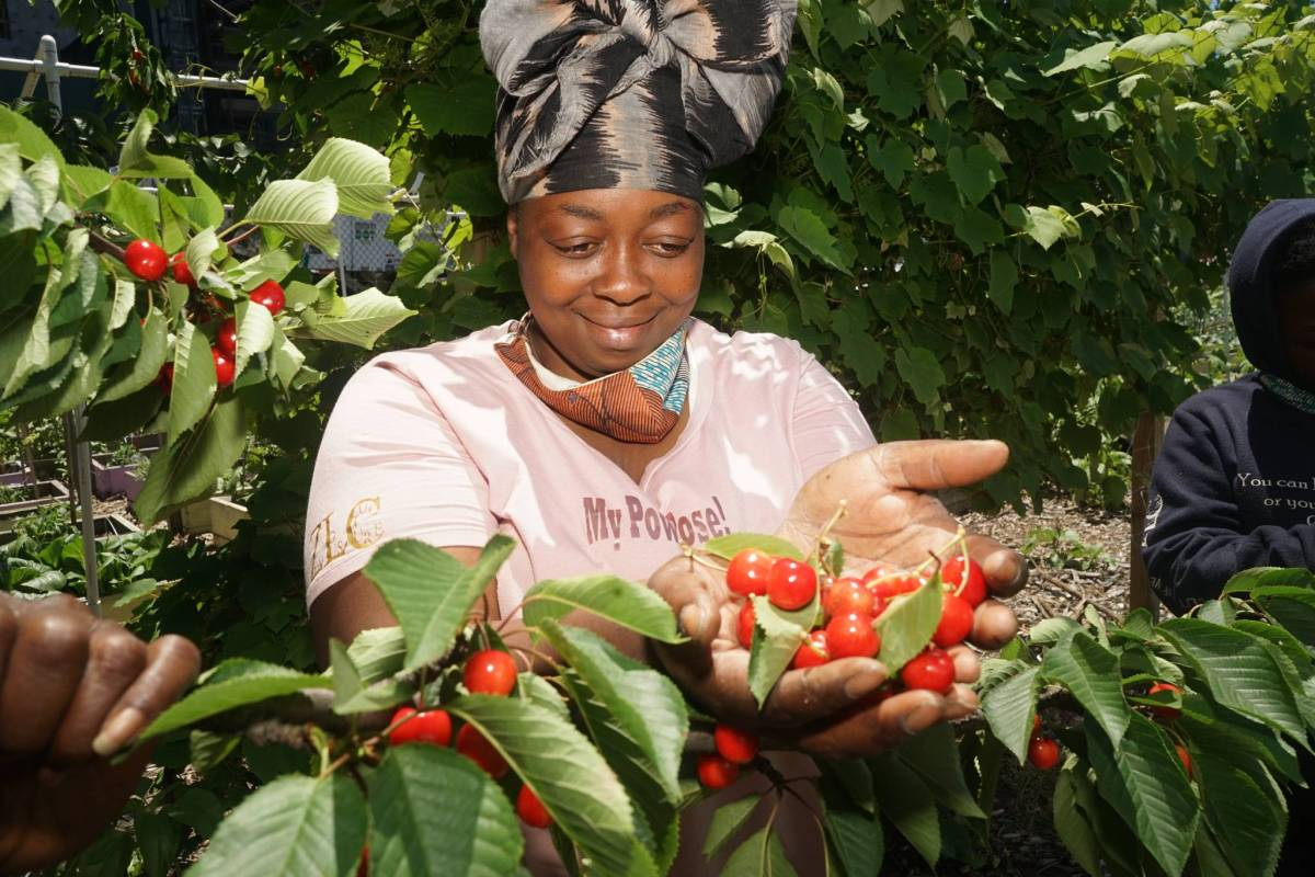 Princess Conneitt picks fresh cherries from the tree at the Brownsville farm.
