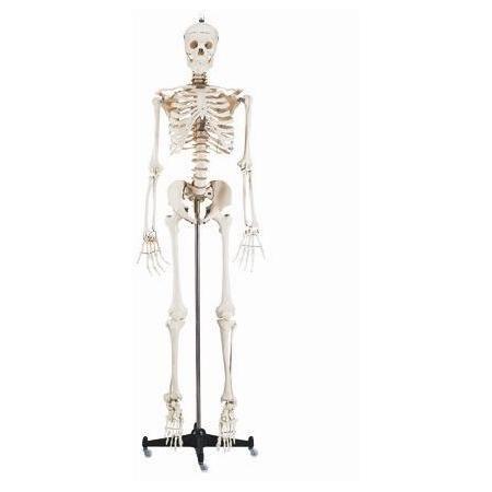 Buy Budget Bucky Skeleton