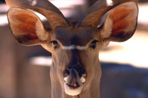 Antelope Sticking Tongue Out