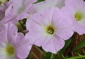 Petunias-wave-pink-white